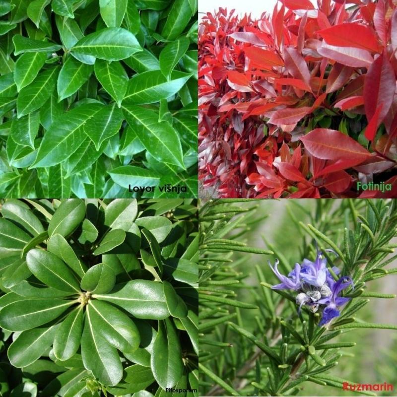 Prodajem sadnice živih ograda i ukrasnog bilja - Lovor visnja(Prunus),Fotinija