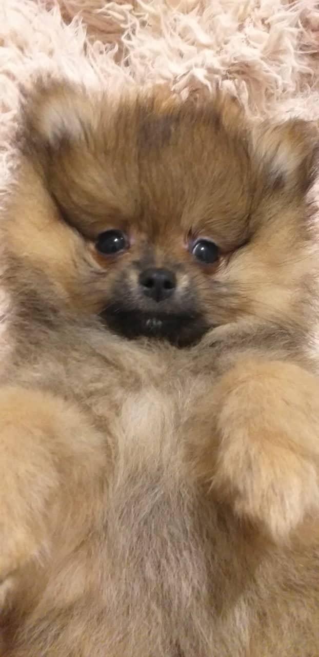 Pomeranian Spitz male