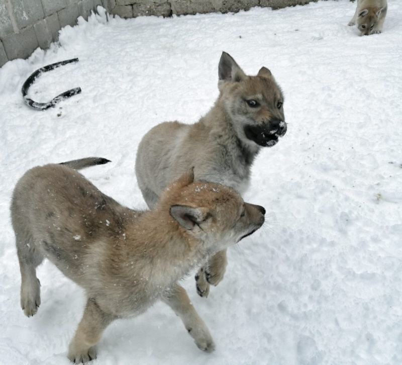 Češkoslovački vučiji pas štenci