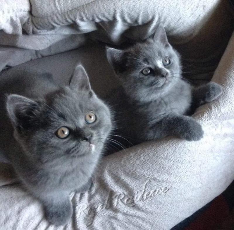 Britanski kratkodlaki macici